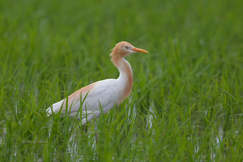 140624Bubulcus-ibis2.jpg