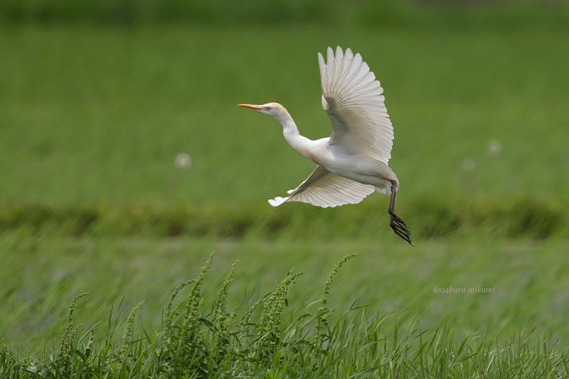 140624Bubulcus-ibis4.jpg