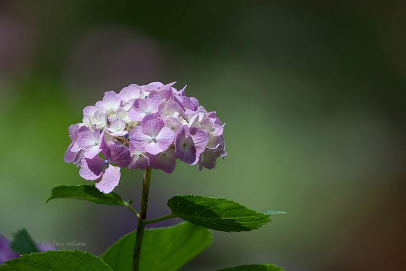 140729Hydrangea-macrophylla.jpg