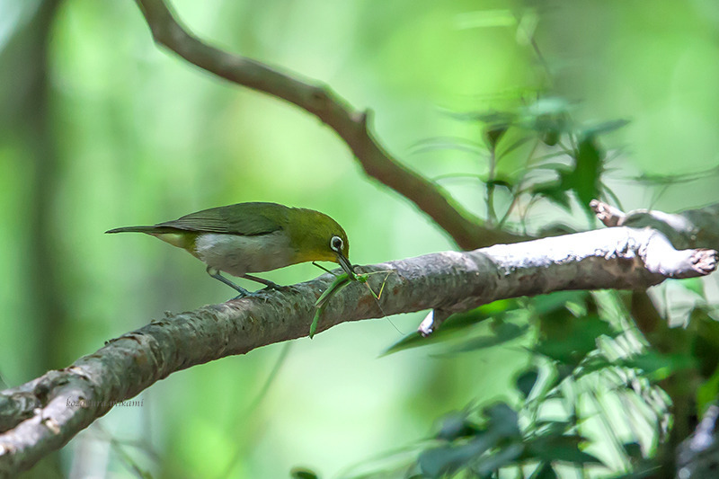 140806Zosterops-japonicus.jpg