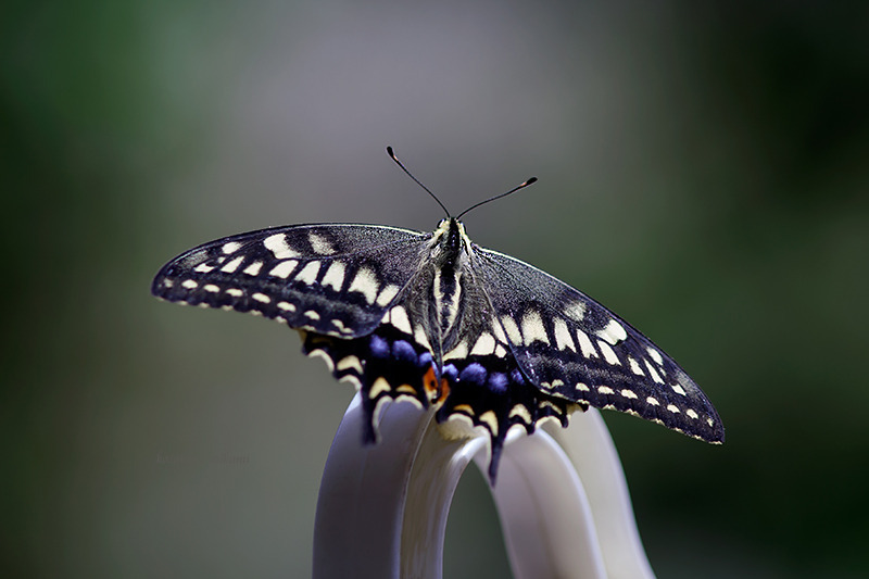 140817Papilio-machaon.jpg