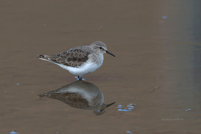 141224Calidris-temminckii.jpg