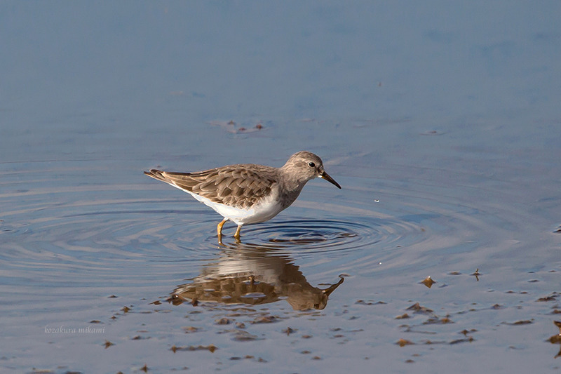 141224Calidris-temminckii6.jpg