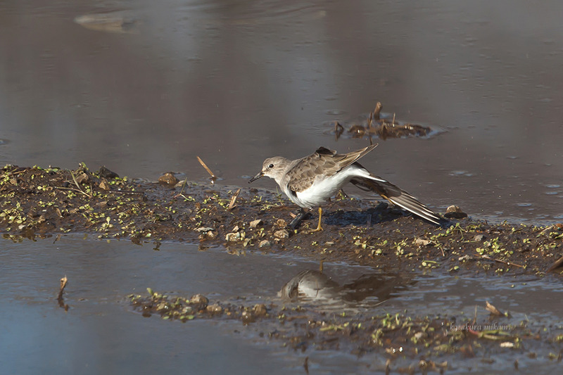 141224Calidris-temminckii7.jpg