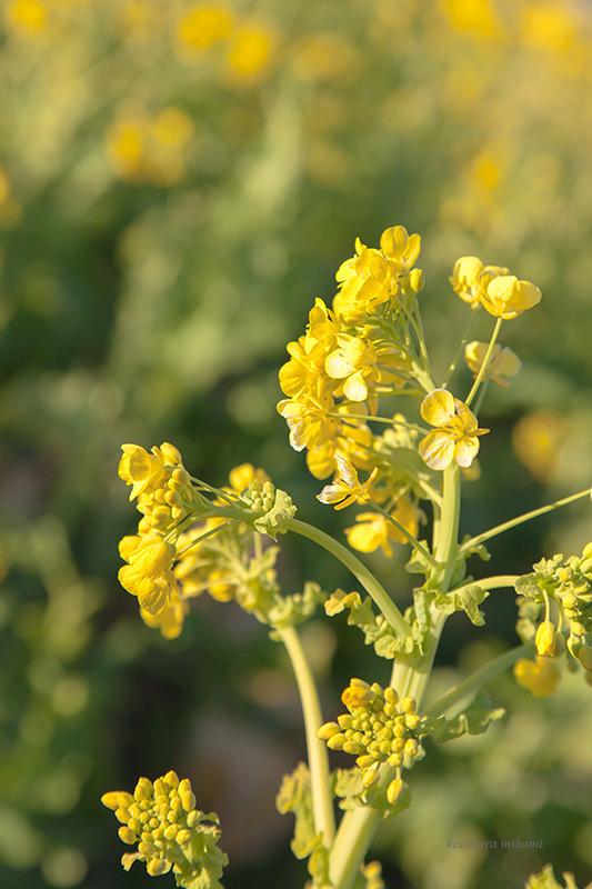 150118吾妻山菜の花2.jpg