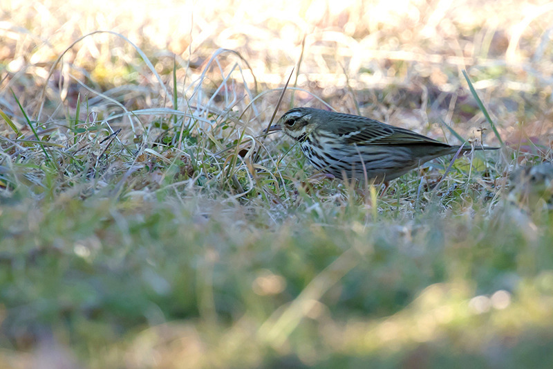 160210Anthus-hodgsoniF0638.jpg