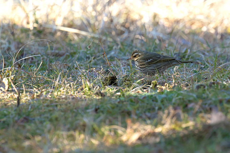 160210Anthus-hodgsoniF0651.jpg