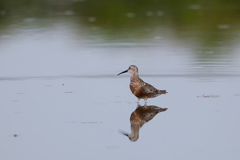 160910Calidris_ferruginea5444.jpg