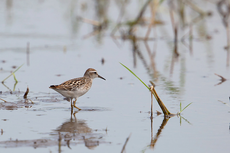 170827Calidris_subminuta1025.jpg