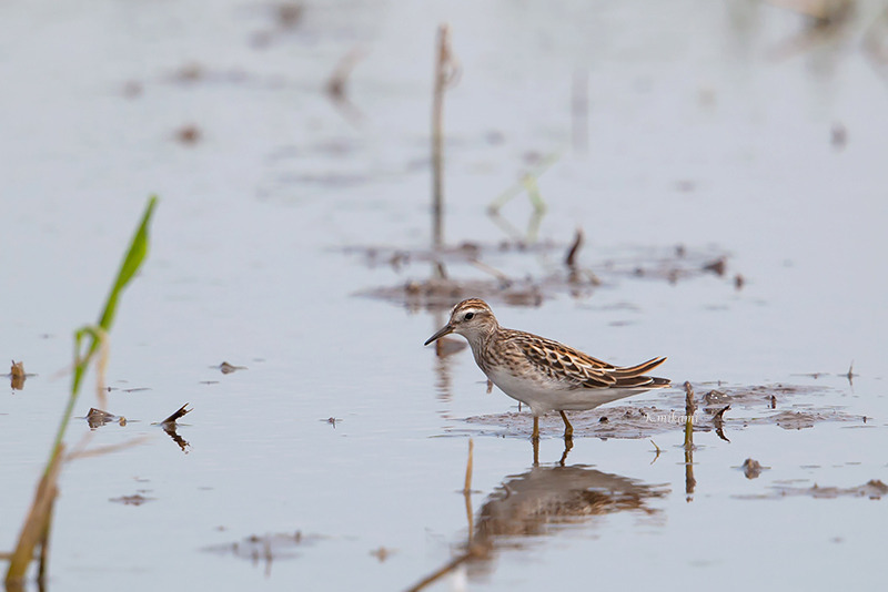 170827Calidris_subminuta1053.jpg