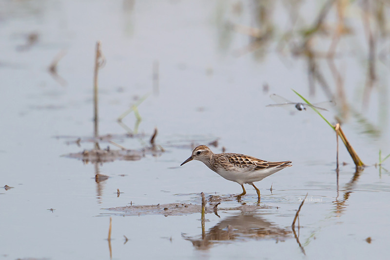 170827Calidris_subminuta1073.jpg