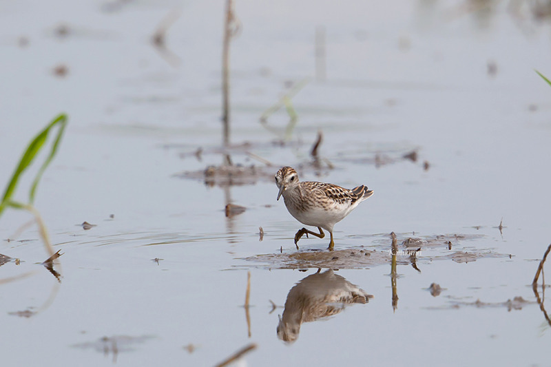 170827Calidris_subminuta1076.jpg