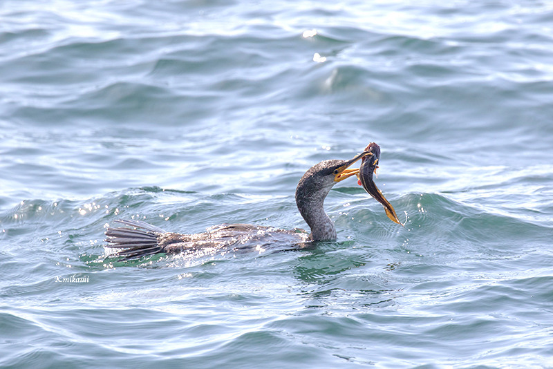 180314Phalacrocorax_carbo5824.jpg