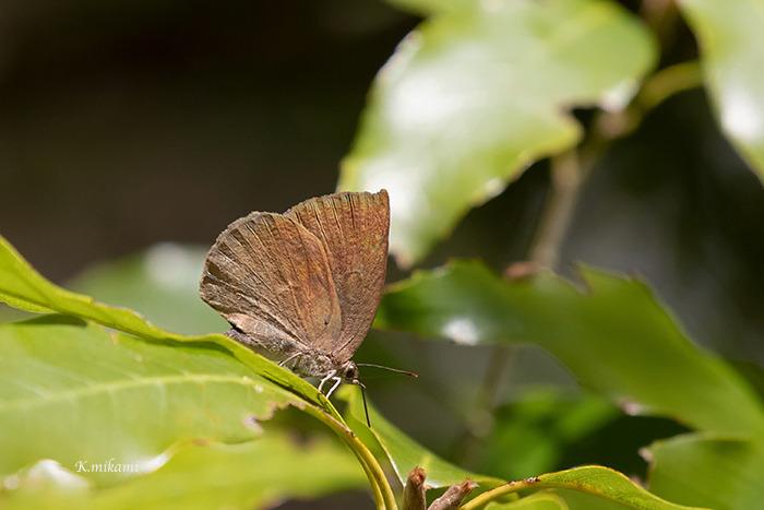 190415Narathura_japonica1219.jpg