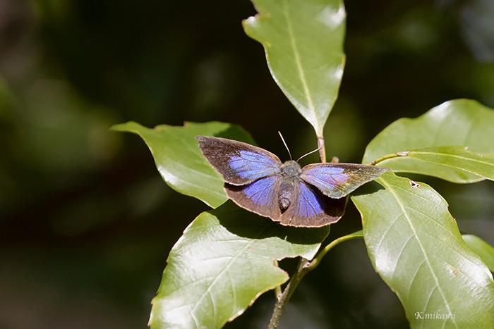 190415Narathura_japonica1223.jpg